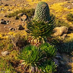 _FOU9626.jpg (Murray Foubister) Tags: africa gadventures spring treking tanazania flora travel 2018