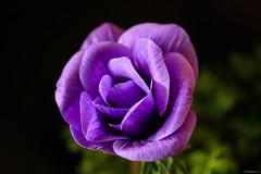 purple anemone (Christine_S.) Tags: closeup flower blackbackground nature japan canon macro mirrorless m5 efm28mm eos garden coth5 ngc npc