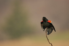 Red-winged blackbird (chmptr) Tags: oiseau passereau blackbird animalier animal wildlife bird passerine