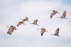 Crane Squadron (jeff_a_goldberg) Tags: platteriver gruscanadensis wildlife kearney bif crane bird richardplautzcraneviewingsite sunset centralplatterivervalley sandhillcrane birdinflight nebraska nature shelton unitedstatesofamerica us