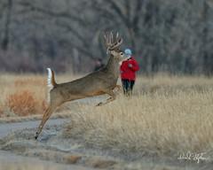 Two Pre-dawn Runners (dcstep) Tags: dsc6609dxo runner redjacket deer running whitetaildeer buck whitetailbuck leaping sonya9 fe400mmf28gmoss handheld allrightsreserved copyright2019davidcstephens dxophotolab202 cherrycreekstatepark greenwoodvillage colorado usa droptine bigbuck