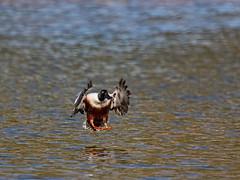 Northern Shoveler_7 (SamOphoto2011) Tags: canon california sandiego birds 14iiteleconverter santeelakes northernshoveler anasclypeata 7dmarkii 100400lmarkii ducks