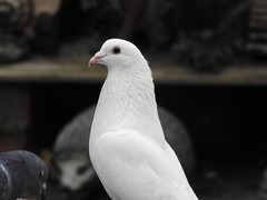 Pure (Simply Sharon !) Tags: pigeon white bird inthegarden gardenvisitor wildlife britishwildlife nature january