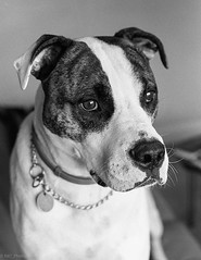 Seb - NFG - HP5 (Nathan Hillis Photography) Tags: nikon fg ilford hp5 dog pet catahoula monochrome blackandwhite film analog
