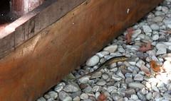 Trachylepis maculilabris (Speckle-lipped Mabuya) (jd.willson) Tags: jd willson jdwillson nature wildlife africa tanzania gombe national park lizard reptile trachylepis maculilabris skink specklelipped mabuya