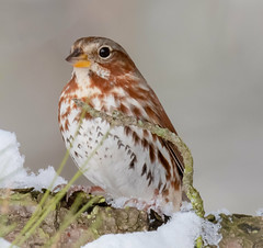 Fox Sparrow (tresed47) Tags: 2019 201901jan 20190114marylandbirdsbb birds blackwaternwr canon7dmkii content folder foxsparrow january maryland peterscamera petersphotos places season sparrow takenby us winter
