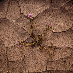 Verbena in Cracked Mud (Jeff Sullivan (www.JeffSullivanPhotography.com)) Tags: photography workshop death valley national park deathvalley nationalpark california usa nature travel canon eos 5dmarkiii roadtrip photo copyright 2016 jeff sullivan blogger allrightsreserved march verbena