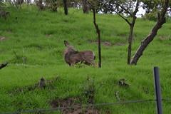 DSC_0057 (tracie7779) Tags: blacktaileddeer losangeles muledeer thegettymuseum california grass hillside