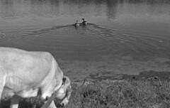 Retreat (PositiveAboutNegatives) Tags: nikon slr vintagecamera nikonf eyelevel plainprism 50mm nikkor 50mmnikkorhc film analog bw blackandwhitefilm kodak trix d76 dogs duck lab labrador yellowlab