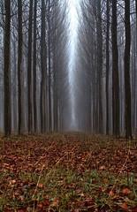 Los sotos (pascual 53) Tags: sotosdelarivera alfaro larioja frio niebla humedad contrastes canon eos7d 50mm chopera invierno simetrias madera profundidad