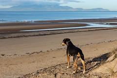 Mistress of all she surveys (RCB4J) Tags: ayrshire ayrshirecoast babygrace clydecoast firthofclyde irvinebeach jakob rcb4j ronniebarron scotland siameselurcher sony1650mmf28dtssm sonyslta77v trailhound art dobermanterrier dogwalkingphotography dogs landscapes photography arran isleofarran ll