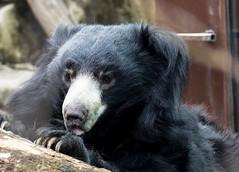 Niko - Male Sloth bear ( Melursus ursinus) (CGDana) Tags: national zoo smithsonian mammal megafauna dc canon 7d mkii