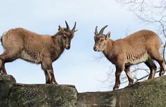 alpine ibex Artis 094A0714 (j.a.kok) Tags: animal artis alpensteenbok alpineibex europe europa steenbok ibex mammal zoogdier dier