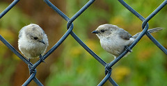Pigeon-holed - And At Such A Young Age (ebirdman) Tags: bushtit psaltriparusminimus psaltriparus minimus male