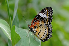 Cethosia cyane - the Leopard Lacewing (female) (BugsAlive) Tags: butterfly mariposa papillon farfalla 蝴蝶 dagvlinder 自然 schmetterling бабочка conbướm ผีเสื้อ animal outdoor insects insect lepidoptera macro nature nymphalidae cethosiacyane leopardlacewing heliconiinae female wildlife lamnamkoknp ผีเสื้อในประเทศไทย chiangrai liveinsects thailand thailandbutterflies bugsalive ผีเสื้อกะทกรกธรรมดา