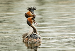 PUNK ROCKERS (Greatoutdoorman) Tags: courtshipdisplay uk norfolk dissmere podicepscristatus greatcrestedgrebe ornithology birds