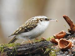 Treecreeper (Certhia familiaris) (eerokiuru) Tags: treecreeper certhiafamiliaris waldbaumläufer porr nikoncoolpixp900 p900 bird wildlife nature birding vogel