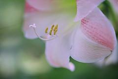 Pink Amaryllis (lfeng1014) Tags: pinkamaryllis amaryllis flower flowermacro canon5dmarkiii ef100mmf28lmacroisusm centennialparkconservatory toronto macro macrophotography depthoffield dof lily closeup bokeh lifeng