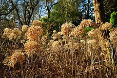 Sunlight on last years Blossoms (Eddie Crutchley) Tags: europe england greatermanchester dunhammassey nationaltrust nature beauty gardens sunlight simplysuperb