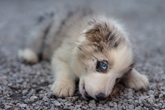 The blue merle. (Gergely_Kiss) Tags: