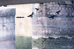 Swallows (PB2_5045) (Param-Roving-Photog) Tags: barn swallow swift fast small bird wildlife sirhind canal doraha ludhiana punjab birdphotography wildlifephotographer birding safari parambhogal paramrovingphotog water bridge nest community flying