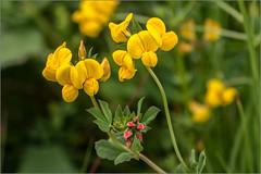 Bald ist es wieder soweit / Soon it's time again (ludwigrudolf232) Tags: klee blume gelb blüte