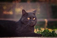 Spuntarello (Pepenera) Tags: cat cats chat gatto gato gatti blackbeauty blackcat