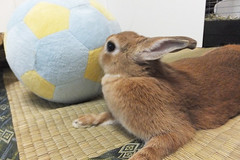 Ichigo san 1527 (Errai 21) Tags: いちごさん ichigo san  ichigo rabbit bunny cute netherlanddwarf pet うさぎ ウサギ いちご ネザーランドドワーフ ペット 小動物 1527