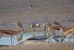 Springböcke am Wasserloch (sacipere) Tags: etosha namibia waterhole springbock springbok antidorcasmarsupialis
