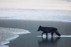 DavidMoskowitz-9819 (moskowitz_david) Tags: wolf canislupus blackwolf clayoquotsound britiishcolumbia pacific beach canada