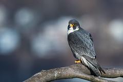 Peregrine Portrait (rob.wallace) Tags: spring 2019 peregrine falcon raptor nj