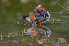 Mandarin Duck (fascinationwildlife) Tags: animal bird birding urban wild wildlife spring nature natur water pond teich mandarin duck drake erpel ente waterfowl vogel deutschland germany forest forstenried forstenrieder park morning wald breeding colors europe munich münchen bayern bavaria