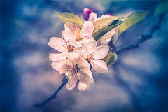 Spring (Ro Cafe) Tags: flowers blossoms blooms branch outdoors spring textured nikond600 nikkor105mmf28