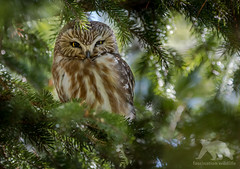 Northern Saw-whet Owl (fascinationwildlife) Tags: animal bird birding urban toronto ontario kanada canada tree forest green evergreen park city wild wildlife nature natur spring eule kauz sägekauz morning vogel saw whet owl northern
