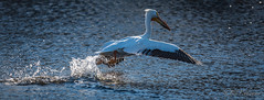 20190408-DSC_7185.jpg (GrandView Virtual, LLC - Bill Pohlmann) Tags: bird americanwhitepelican wisconsin wildlife waterfowl stcroixriver northhudsonwi