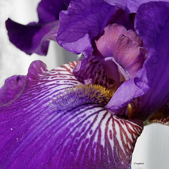 IrisPurple (Corgibird) Tags: flowes flowers naturallight nature iris purple blue yellow out peaches macro juxtaposition artsy crop microfourthirds panasoniclumix 20mm primelens green spring springflowers springtime dandelion sunlight texas