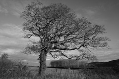 A Long Time Tangled (JamieHaugh) Tags: clevedon somerset england uk gb britain outdoors sony alpha ilce7rm2 a7rii zeiss trees tangled branches nature long time blackwhite blackandwhite black white grey monochrome bw fence field copse sky clouds landscape