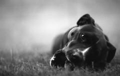 IMG013 (wolffriend333) Tags: nikkormat ilfordpanf hc110b opentopic blackandwhite film 35mm pitbull dog argo blackdog
