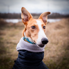 Rysia (bbartlomiej) Tags: sighthound hound whippet polish chart polski winter dog canon 5d mark3 5dmk3 352 35mm f2 usm is