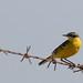 Bergeronnette printanière (Motacilla flava) - Yellow wagtail