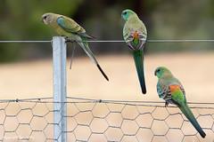 Red-rumped Parrot (Psephotus haematonotus) (Ian Colley Photography) Tags: redrumpedparrot psephotushaematonotus bird inverell newsouthwales australia canoneos7dmarkii ef100400mmf4556lisiiusm
