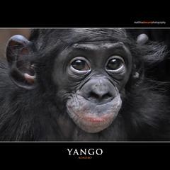 YANGO (Matthias Besant) Tags: affe affen affenfell animal animals ape apes pygmychimpanzee fell zwergschimpanse hominidae hominoidea mammal mammals menschenaffen menschenartig menschenartige monkey monkeys primat primaten saeugetier saeugetiere tier tiere trockennasenaffe bonobo schauen blick blicken augen eyes look looking baby yango bonobobaby child kind zoo zoofrankfurt matthiasbesant hessen deutschland
