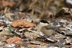 DSC_7073 (Guido Schütz) Tags: be länder paridae passeriformes poecilepalustris schoppen tiere vögel