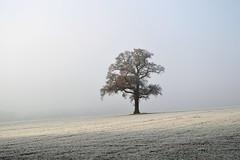 """""""On Lyndon Hill"""" (AndyorDij) Tags: lyndon lyndonhill lyndonestate england rutland uk unitedkingdom andrewdejardin winter tree misty foggy oak frost frosty hoarfrost oaktree 2012"""