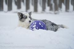Snow Corgis 6 (Kenjis9965) Tags: sel70200gm sony70200mmf28gm sonya7iii sony a7 iii mark 70200mm f28 gm g master cardigan welsh corgi corgo doggo doge pupper playing snow winter having fun deep polar vortex outside puppy dog ball