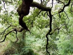 Regionale Veloce / 46 (Attimo) Tags: italia toscana lucca capannori montesancarlo quercia streghe alberi estate regionaleveloce 2018