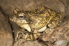 Chiromantis xerampelina - Foam nesting frog (Imelus Umwabe) Tags: southafrica southernafrica africa frog chameleon lizard reptile amphibian animal canon5dmkiii canon macro twinflash herpetology herping fieldherping limpopo waterberg imelusumwabe