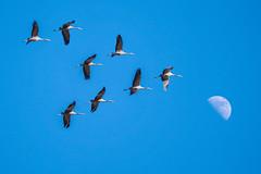 Grues cendrées (Marc ALMECIJA) Tags: oiseau bird aves vogel panasonic g9 outdoor outside wildlife nature natur camargue grue cendrée ciel sky bleu blue