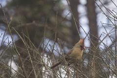 Backyard Cardinals (jackie.moonlight) Tags: cardinal cardinals bird birds backyard bush plant