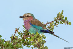 Lilac-breasted Roller, Coracias caudatus (Kevin B Agar) Tags: birds coraciascaudatus lilacbreastedroller southafrica